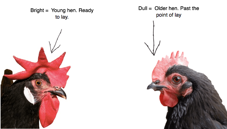 signs that hens are at point of lay