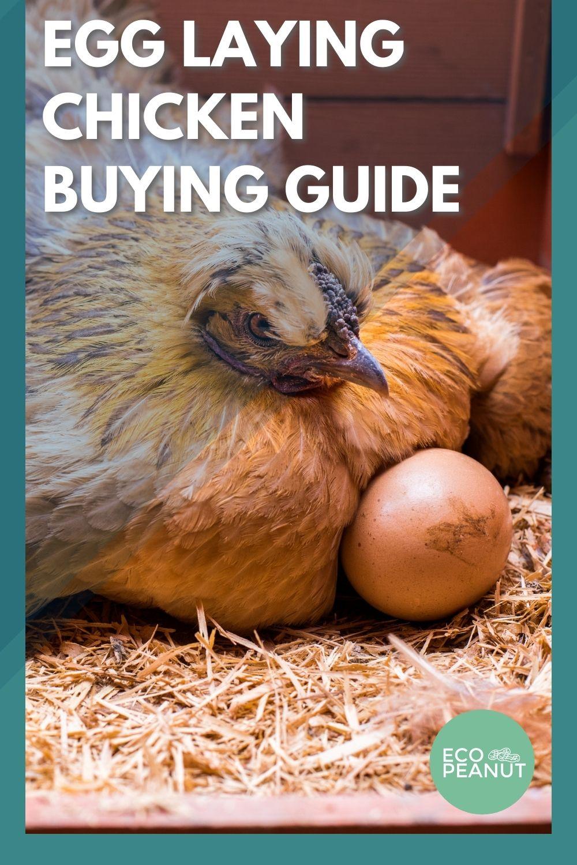 Chicken Laying Egg