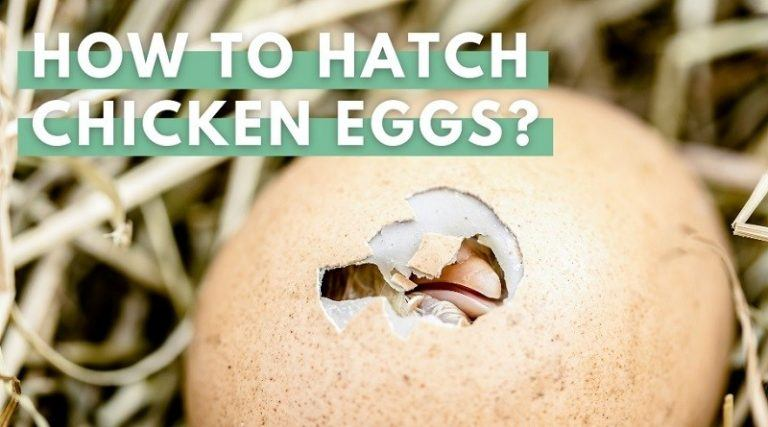 Hatching Chicken Eggs