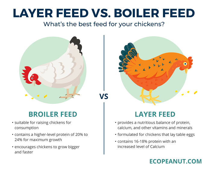 Layer Chicken Feed Formula