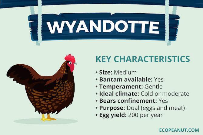 North American Wyandotte