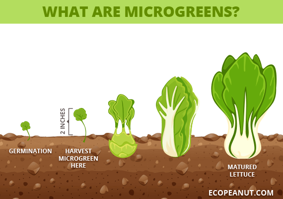 what are microgreens graphic