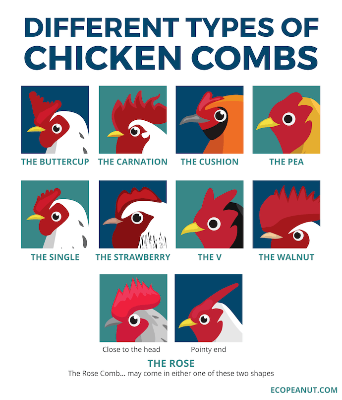 different types of chicken combs graphic
