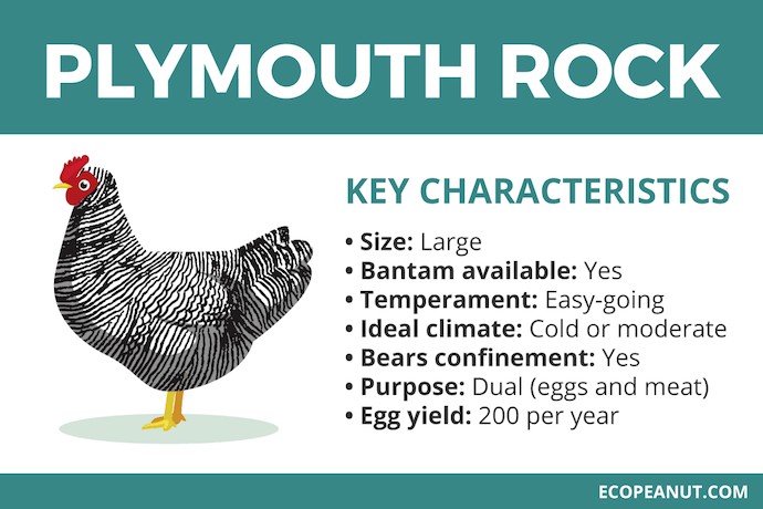 plymouth rock characteristics graphic