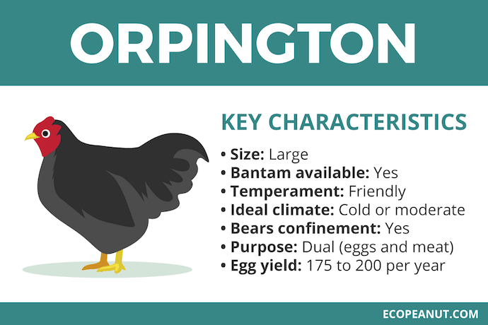 orpington characteristics graphic