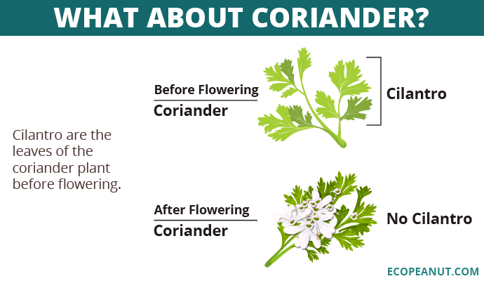 cilantro vs coriander graphic
