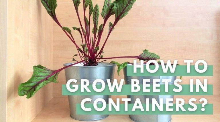 Beets Plant