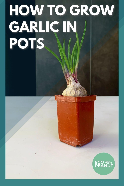 Garlic in pot