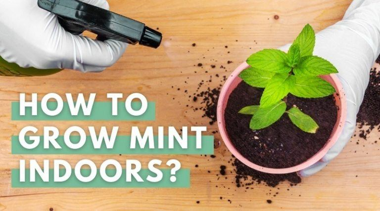 Watering Mint Plant