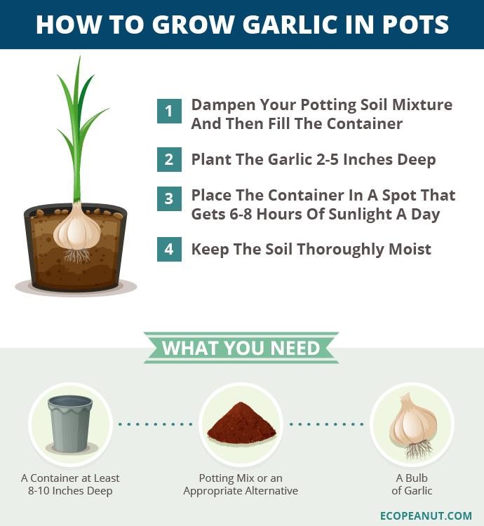 How To Grow Garlic In Pots Eco Peanut