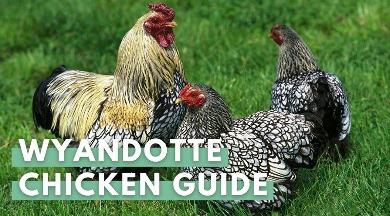 wyondotte chicken