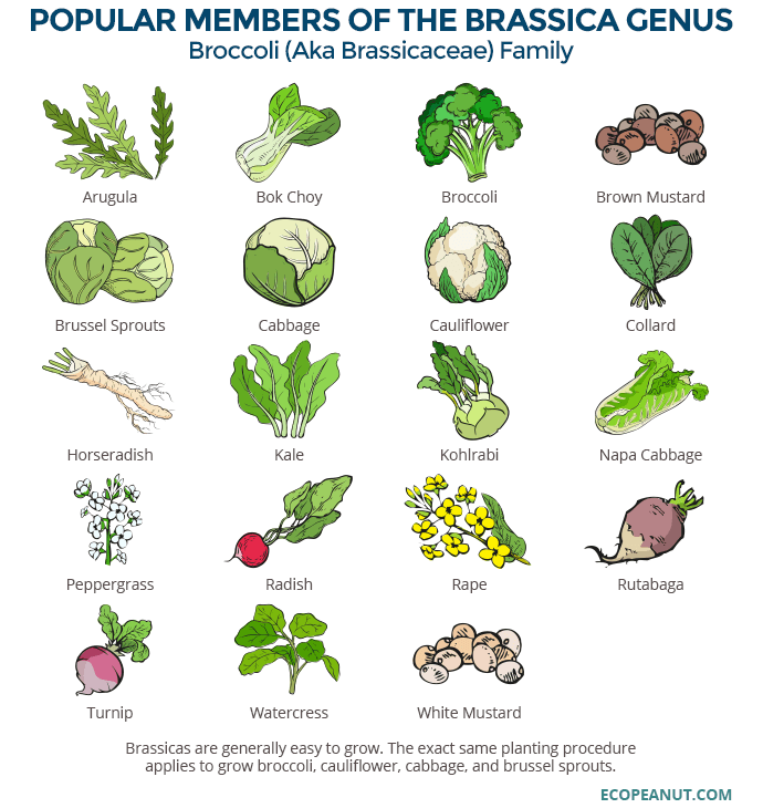 graphic of vegetables that belong to the broccoli family