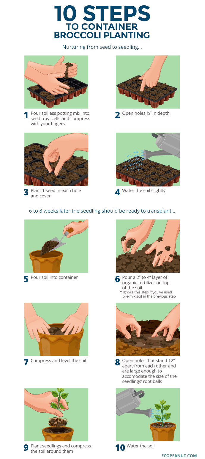 10 steps to container broccoli planting graphic