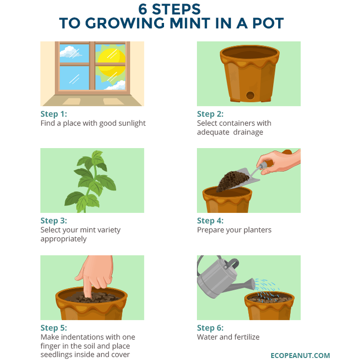 how to grow mint in a pot graphic