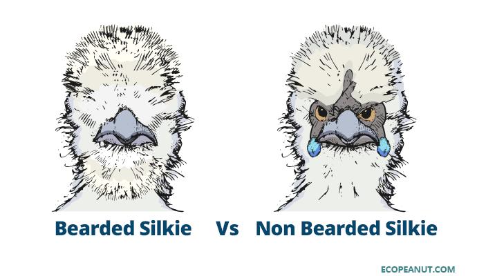 Bearded Silkie Vs. Non Bearded Silkie