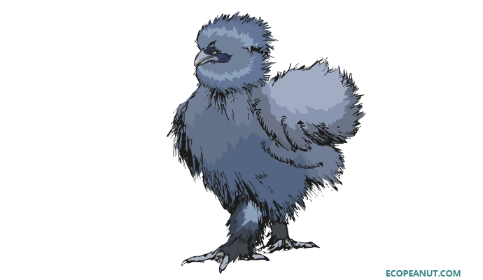 Blue Silkie profile