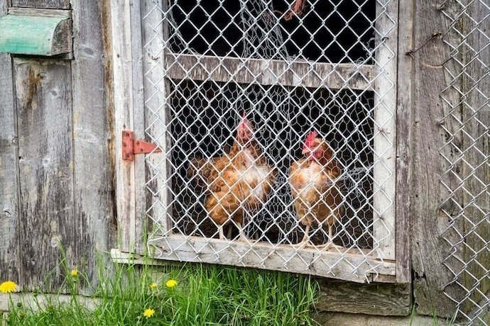 chickens behind a fence.