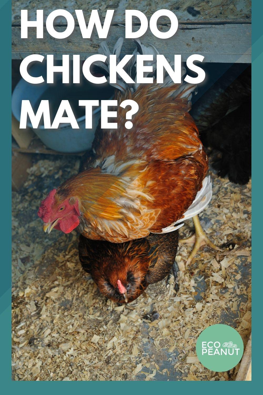 Chicken Mating