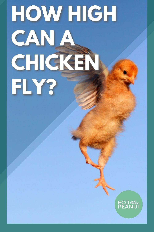 Chicken Flying