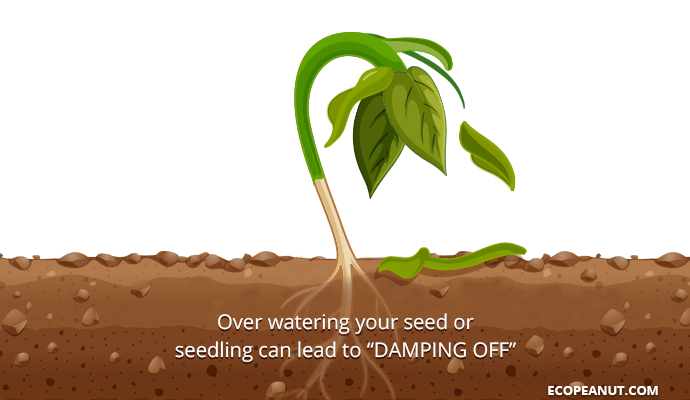 over watering your seed can lead to damping off graphic
