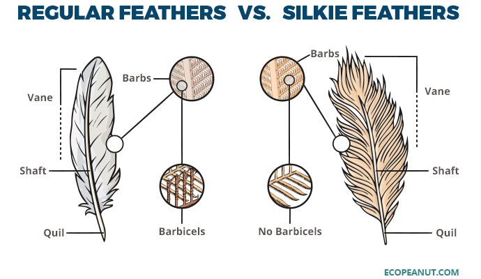 Regular feathers vs. Silkie feathers