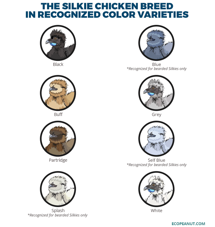 THE SILKIE CHICKEN BREED IN RECOGNIZED COLOR VARIETIES