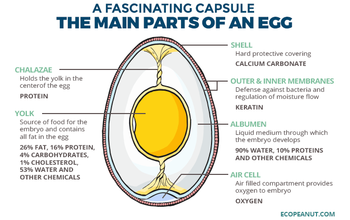 the main parts of an egg graphic