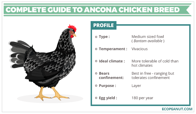 COMPLETE GUIDE TO ANCONA CHICKEN BREED