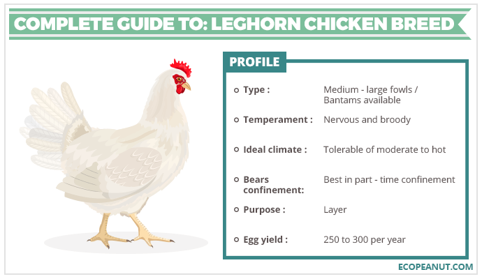 COMPLETE GUIDE TO LEGHORN CHICKEN BREED