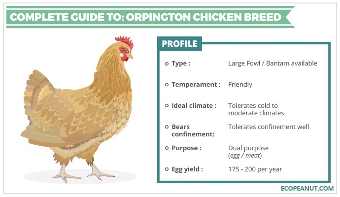 COMPLETE GUIDE TO ORPINGTON CHICKEN BREED