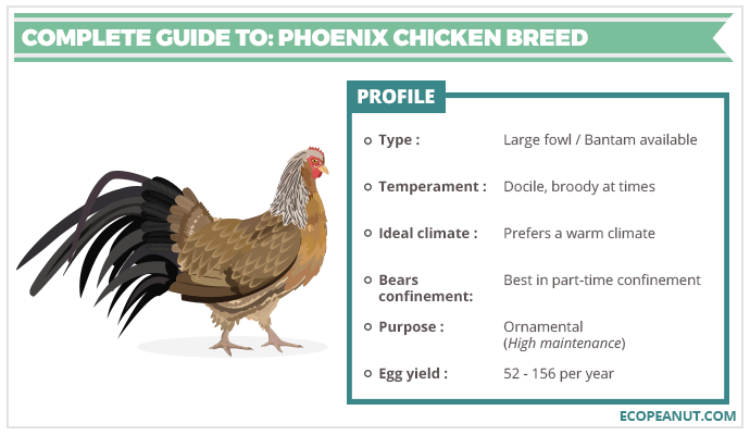 COMPLETE GUIDE TO PHOENIX CHICKEN BREED