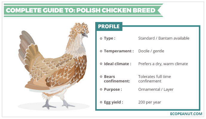 COMPLETE GUIDE TO POLISH CHICKEN BREED