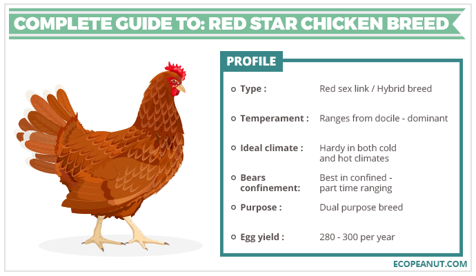 A image of a red star chicken with bullet points about it.