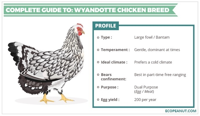 COMPLETE GUIDE TO WYANDOTTE CHICKEN BREED