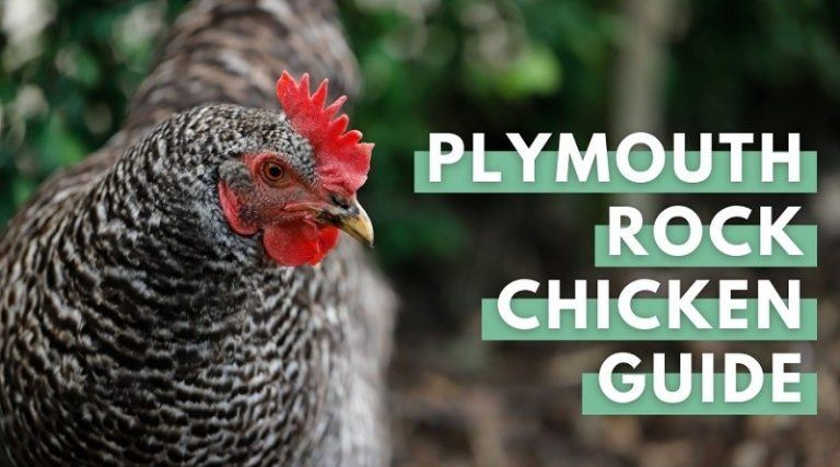 Plymouth Rock Chicken
