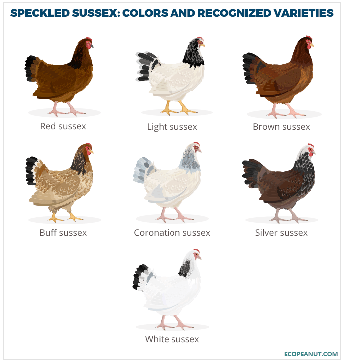 The Complete Guide To The Speckled Sussex Chicken Is This