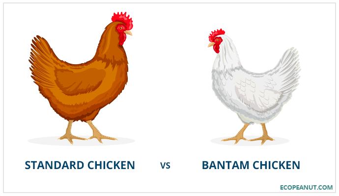 Standard chicken vs bantam chicken