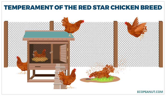 Temperament of the Red Star Chicken Breed