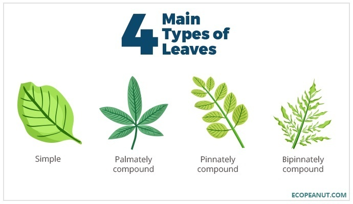 4 main types of leaves
