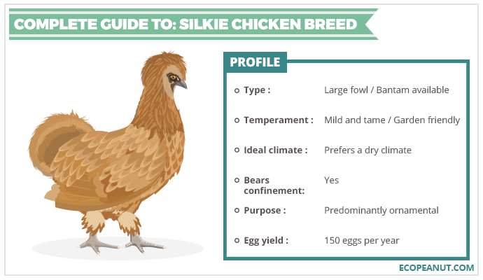 COMPLETE GUIDE TO SILKIE CHICKEN BREED