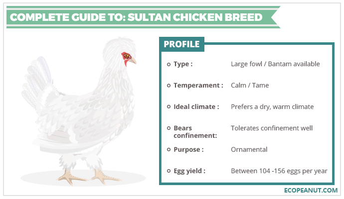 COMPLETE GUIDE TO SULTAN CHICKEN BREED