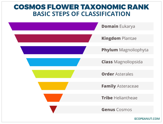 cosomos flower taxonomic rank graphic