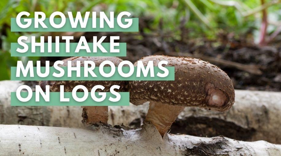 Shiitake Mushrooms On Logs