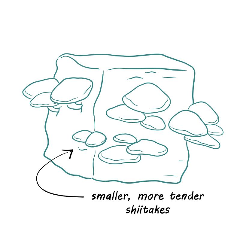 Induce Fruiting of shiitake mushrooms