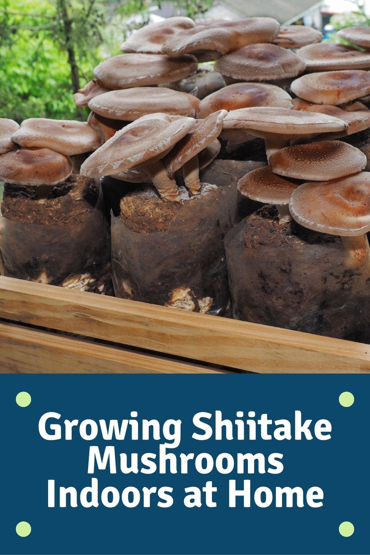 Growing Shiitake Mushrooms Indoors at Home