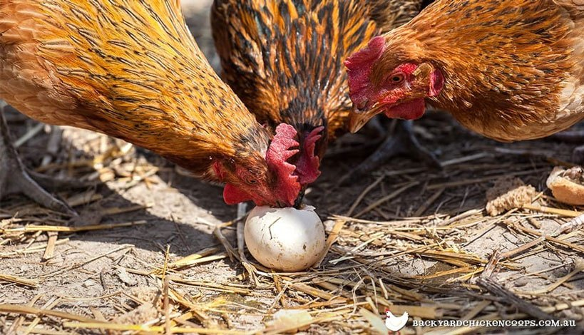 Predator Proof Your Chicken Coop Collect eggs regularly