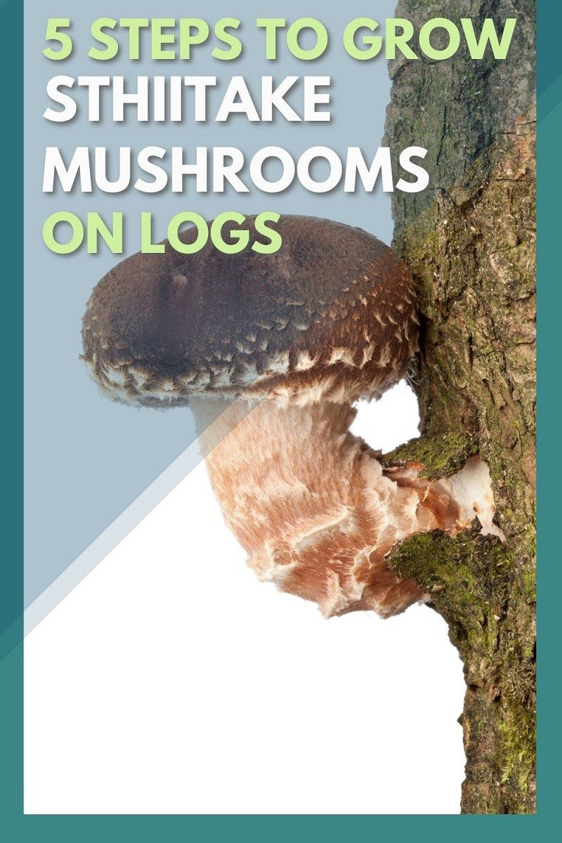 how to grow shiitake mushrooms on logs step by step guide