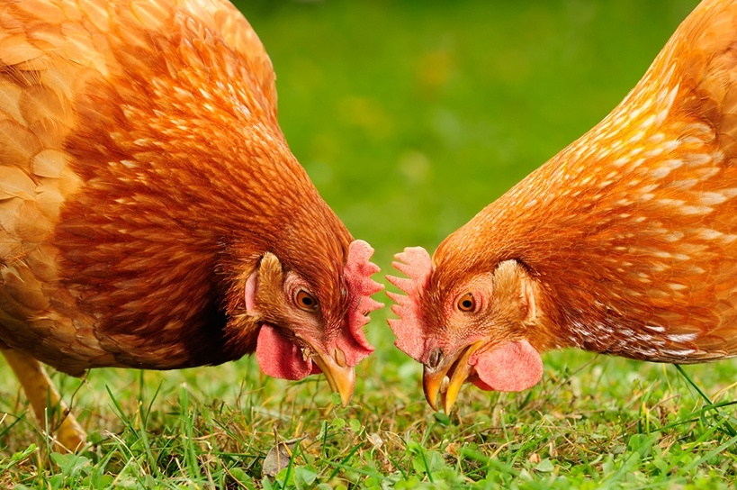 Chicken eating grains and grass