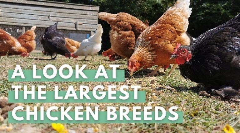 A Look at the Largest Chicken Breeds