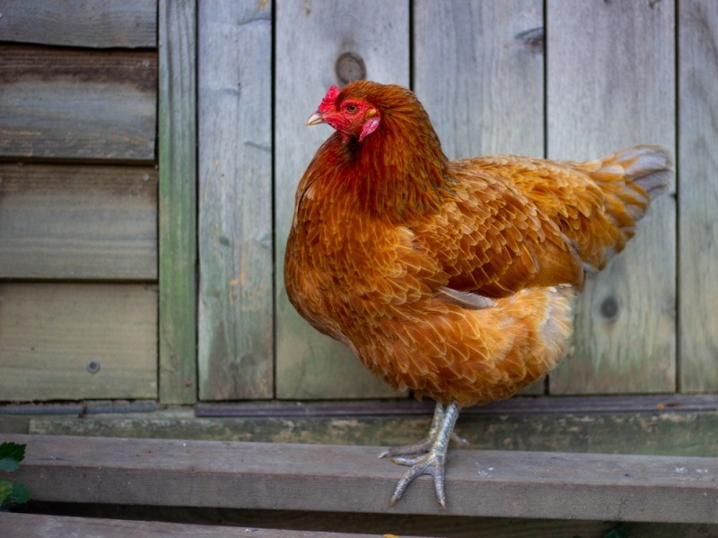 Side view of a Buff Ameraucana rooster